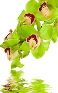 Hintergrundbilder Orchideen Wasser Großansicht Weißer hintergrund Blumen
