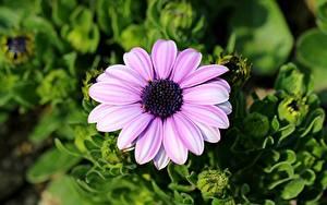 Fotos Kapkörbchen Nahaufnahme Unscharfer Hintergrund Rosa Farbe Blumen