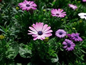 Bilder Kapkörbchen Violett Unscharfer Hintergrund Blumen