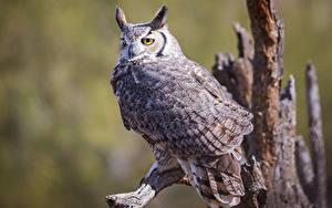 Bilder Eulen Vogel Bokeh great horned owl