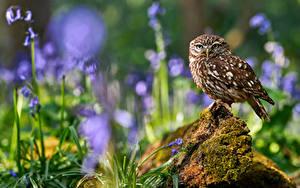 Desktop hintergrundbilder Eulen Vögel Unscharfer Hintergrund little owl ein Tier