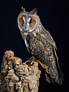 Fotos Eule Vögel Schwarzer Hintergrund long-eared owl