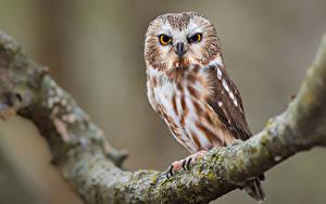 Hintergrundbilder Eule Vögel Ast northern saw-whet owl