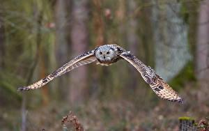 Hintergrundbilder Eule Unscharfer Hintergrund Flug Tiere