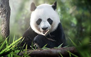 Bilder Pandas Jungtiere Tiere