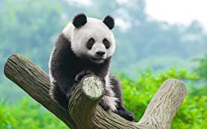 Bilder Pandas Jungtiere Baumstamm