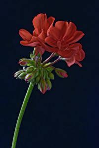 Papel de Parede Desktop Fundo preto Vermelho Broto Pelargonium flor
