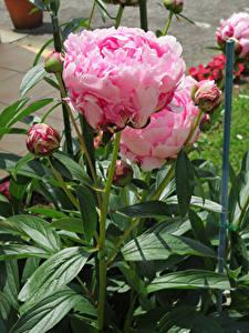 Desktop hintergrundbilder Pfingstrosen Großansicht Rosa Farbe Knospe Blüte