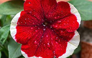 Hintergrundbilder Petunien Großansicht Tropfen Rot Blumen