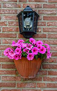 Bilder Petunien Rosa Farbe Straßenlaterne Wand Blumentopf Blumen