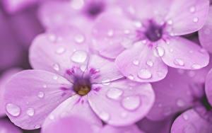Hintergrundbilder Phlox Nahaufnahme Makro Violett Tropfen Blumen