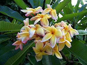 Fotos Frangipani Hautnah Tropfen Blumen