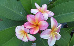 Bilder Frangipani Großansicht Blatt Blumen