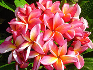 Fotos Frangipani Großansicht Rosa Farbe Blumen