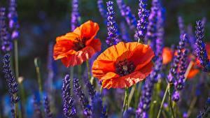 Bilder Mohnblumen Unscharfer Hintergrund Blüte