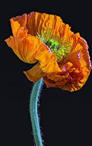 Picture Poppies Closeup Black background Orange Flowers