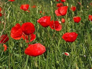 Fotos Mohn Hautnah Viel Rot Blütenknospe Blumen