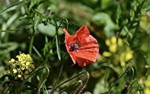 Bureaubladachtergronden Klaproos Close-up Rood bloem