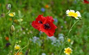 Tapety na pulpit Maki Zbliżenie Czerwony Pąk Bokeh Kwiaty