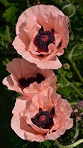 Bakgrundsbilder på skrivbordet Vallmo Närbild Tre 3 Skär Blommor