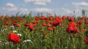 Fotos Mohn Acker Rot Bokeh Blumen