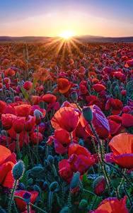 Fondos de Pantalla Papaver Campos Rojo Rayos de luz Sol Flores
