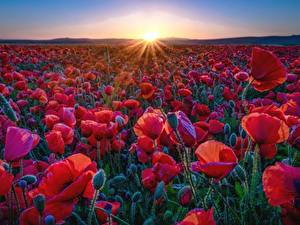 Bilder Mohn Felder Rot Lichtstrahl Sonne Blumen