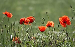 Desktop hintergrundbilder Mohn Gras Rot Knospe Blumen