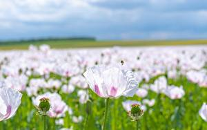 Fotos Mohnblumen Viel Bokeh Rosa Farbe Blüte