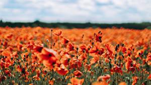 Hintergrundbilder Mohnblumen Viel Acker Rot Unscharfer Hintergrund Blüte
