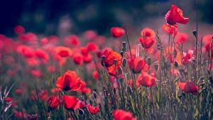 Hintergrundbilder Mohnblumen Rot Blütenknospe Unscharfer Hintergrund Blumen