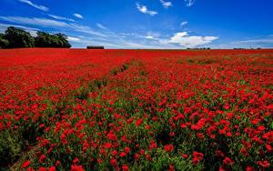 Bilder Mohn Sommer Felder Blumen
