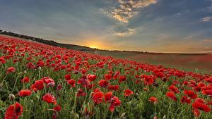 Bilder Mohnblumen Sonnenaufgänge und Sonnenuntergänge Felder Blumen Natur