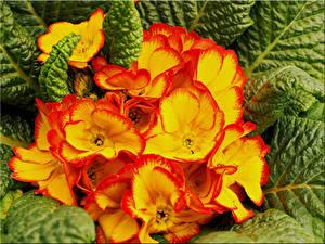 Bilder Schlüsselblumen Hautnah Blüte