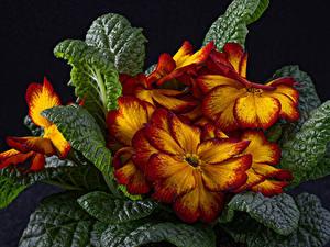Hintergrundbilder Schlüsselblumen Großansicht Schwarzer Hintergrund Blatt Blumen