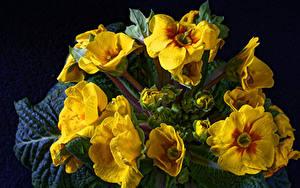 Hintergrundbilder Schlüsselblumen Großansicht Schwarzer Hintergrund Gelb Blumen
