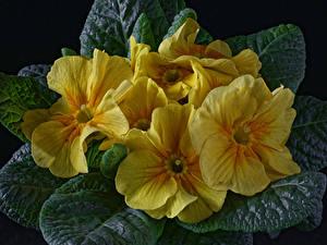 Fotos Schlüsselblumen Hautnah Schwarzer Hintergrund Gelb Blüte