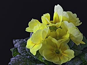 Bilder Primeln Großansicht Gelb Blumen