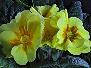 Bilder Schlüsselblumen Großansicht Gelb Blumen