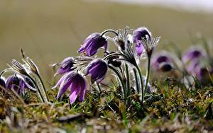 Photo Pasque flower Closeup Blurred background Violet flower