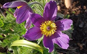 Bilder Kuhschellen Hautnah Violett Blüte