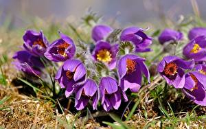 Image Pasque flower Closeup Violet Flowers