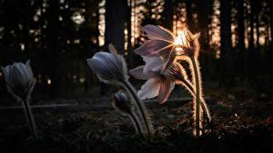 Bilder Kuhschellen Abend Lichtstrahl Unscharfer Hintergrund Blüte