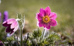 Bilder Kuhschellen Rosa Farbe Bokeh Blüte