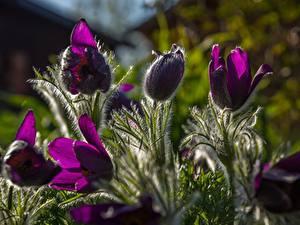 Hintergrundbilder Kuhschellen Violett Bokeh Blüte
