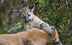 Bilder Pumas Jungtiere