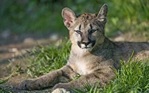 Fotos Pumas Jungtiere Gras ©Tambako The Jaguar