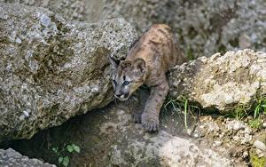 Bilder Pumas Steine Jungtiere Felsen