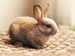 Fotos Kaninchen Großansicht Lebensmittel