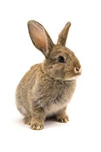 Fotos Kaninchen Weißer hintergrund ein Tier